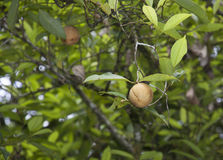 Nutmeg. Fruit on a tree stock photography