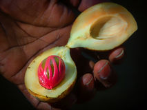 Nutmeg in hand. Sectional view of ripe colorful red nutmeg fruit.Sri Lanka background royalty free stock photos