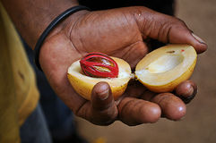 A nutmeg in a hand of a Zanzibar man. A muskat nut, a nutmeg in a hand of a local man in Zanzibar, collected on one of the spices plantations, a famous spice for stock image