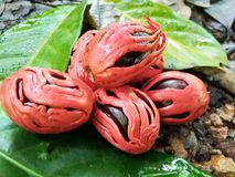 Nutmeg owoc zdjęcie royalty free