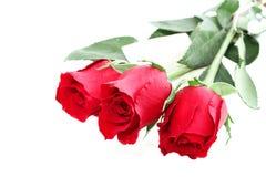 nutowe róże Fotografia Royalty Free