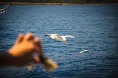 Nutra a mano i gabbiani con pane sopra l'acqua del mare adriatico, Croazia fotografia stock