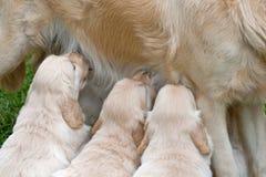 Nutrição bonito dos filhotes de cachorro do Retriever dourado Fotografia de Stock Royalty Free