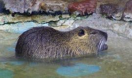 Nutria啮齿目动物哺乳动物的海狸鼠 图库摄影