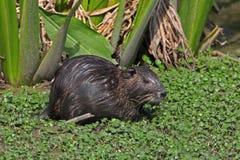 Nutria在一个浅池塘-博蒙特,得克萨斯 图库摄影