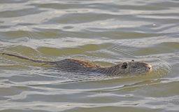 Nutria在沼泽地池塘 库存照片