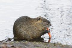 Nutria或巨水鼠哺养 库存照片