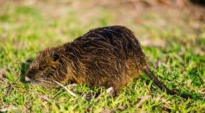nutria的接近的照片,也叫巨水鼠或河鼠 库存照片