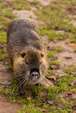 Nutria,巨水鼠,侵略的种类哺乳动物 库存图片