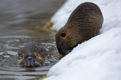 Nutria, Myocastor巨水鼠,与大牙的冬天老鼠在雪,在河附近 免版税库存照片