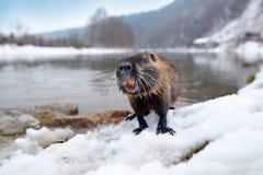 Nutria, ângulo largo com habitat Nutria, coypus do Myocastor, rato do inverno com o dente grande na neve, perto do rio Nutria com Imagem de Stock Royalty Free