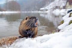 Nutria, ângulo largo com habitat Nutria, coypus do Myocastor, rato do inverno com o dente grande na neve, perto do rio Nutria com Fotos de Stock Royalty Free
