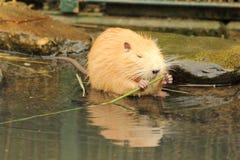 Nutria или крыса реки Стоковая Фотография