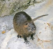 Nutria 1 Royalty Free Stock Images