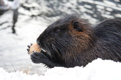 Nutria Photo stock