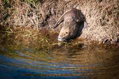 Nutria . Wild nutria near his home on the lake Royalty Free Stock Photos