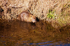 Nutria . Wild nutria near his home on the lake Royalty Free Stock Photography