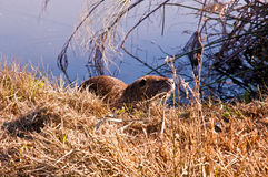 Nutria . Wild nutria near his home on the lake Stock Photo