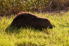 Nutria . Wild nutria near his home on the lake Stock Photography