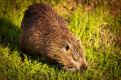 Nutria . Wild nutria near his home on the lake Royalty Free Stock Image