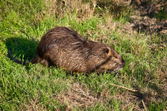 Nutria . Wild nutria near his home on the lake Stock Photos