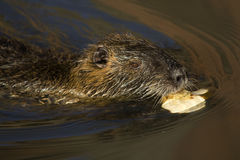 Nutria. On the banks of the creek Royalty Free Stock Photo
