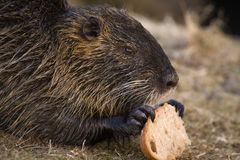 Nutria. On the banks of the creek Stock Photo