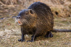 Nutria Stock Photography
