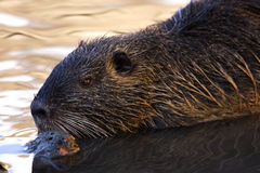 Nutria. On the banks of the creek Royalty Free Stock Photography