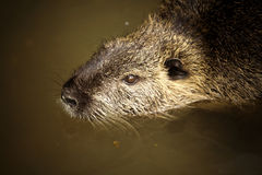 Nutria Foto de Stock Royalty Free