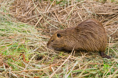 Nutria Photos stock