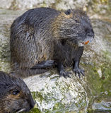 Nutria 8 Stock Photography