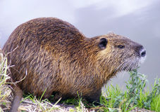 Nutria Royalty Free Stock Image