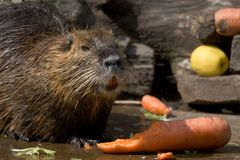 Nutria royalty free stock photo