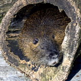 Nutria 9 Royalty Free Stock Images