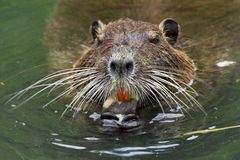Nutria Royalty Free Stock Photos