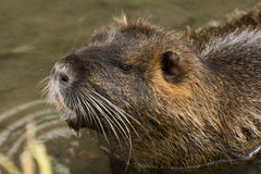 Nutria. Adult nutria in water and wild Royalty Free Stock Photo
