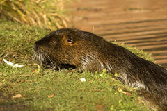 Nutria. Adult nutria in water and wild Stock Image
