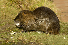 Nutria. Adult nutria in water and wild Stock Photos
