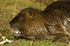 Nutria. Adult nutria in water and wild Royalty Free Stock Image