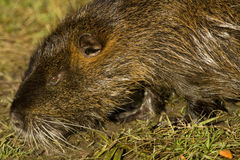 Nutria. Adult nutria in water and wild Stock Photo