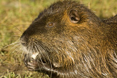 Nutria. Adult nutria in water and wild Royalty Free Stock Photography