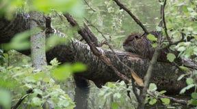 Nutria anche conosciuto come il coypu ed il ratto del fiume immagini stock libere da diritti