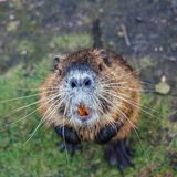 Nutria animal stands on its hind legs looking up.  royalty free stock photos