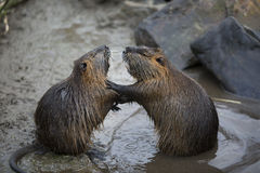 Nutria arguing. A pair of arguing nutria large rodents similar to beavers Royalty Free Stock Photos