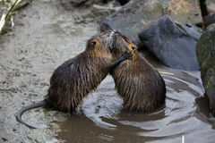 Nutria arguing. Nutria  rodents that resemble beavers  grappling Royalty Free Stock Photo