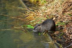 A nutria on the bank stock photo