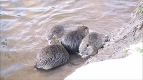 Nutria on the banks of the river stock video