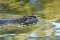 Nutria, beaver rat. Floating in water stock image
