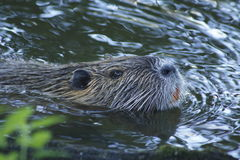 Nutria, beaver rat. Floating in water stock photo